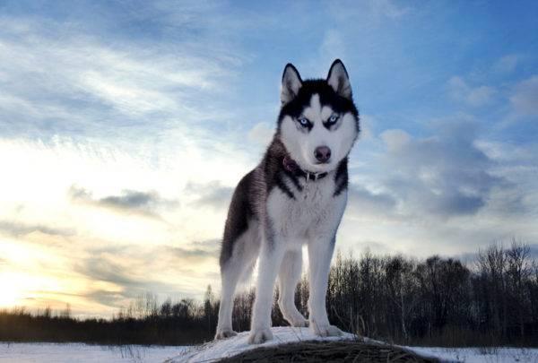 Sibirsky Husky Fotografie Psa Cena Popis Plemene Priroda Video